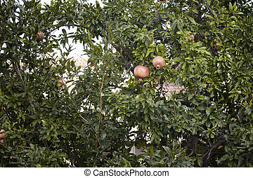 Two pomegranates on a tree in summer.