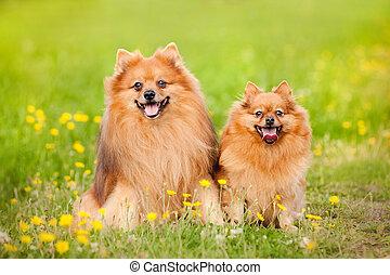 two pomeranian dog in summer - two cute pomeranian dog...