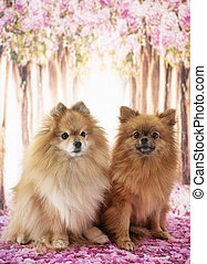 two pomeranians in studio