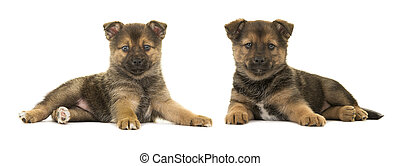 Two pomsky puppy dogs lying down seen from the side isolated on a white background