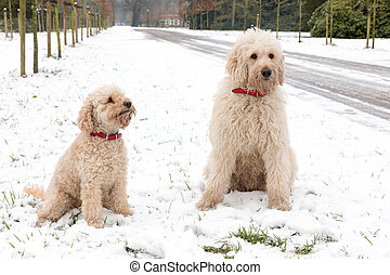 Two poodle dogs sitting together in snow