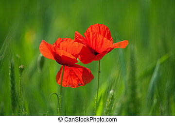 two poppies in wheat