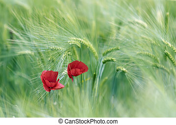 poppies - two poppies on green background