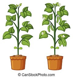 Two potted plants with beans illustration