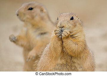 Two Prairie Dogs (Cynomys).  The mammal in the forground is nibbling on some food with his paws up to his mouth.