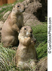 Prairie dogs - Two Prairie dogs in a zoo