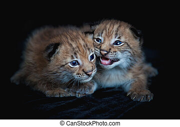Two pretty Eurasian Lynx cubs on black background