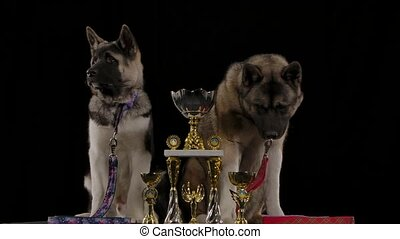 Two proud dogs American Akita champions sit on the sides of three won cups in the studio on a black background. The dogs roll their heads around in slow motion. Both pets have leash collars around their necks, one red and the other blue. Close up.