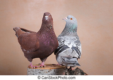Two proud doves, brown and blue, sit on the stump