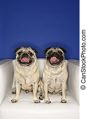 Two Pug dogs. - Two Pug dogs sitting in chair.