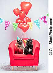 Two pugs dogs with birthday decorations. - Two little pugs,...