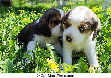 Two puppies Beagle sitting in the grass