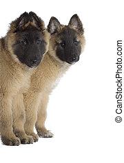 Two puppies, Belgian Shepherd Tervuren, isolated