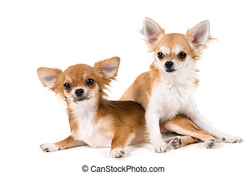 Two puppies chihuahua