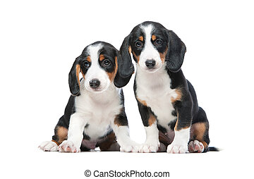 Two puppies isolated on white background. Westphalian...
