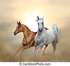 Two purebred horses running in sunset time in the dust
