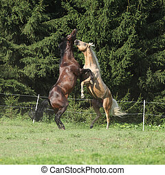 Two quarter horse stallions fighting with each other on ...