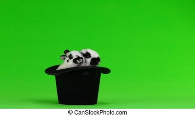 two rabbit hip-hats on a green screen - two rabbit hip-hats...