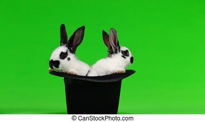 two rabbit hip-hats on a white screen