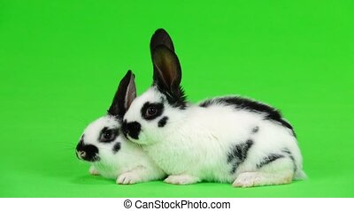 two rabbit on green screen