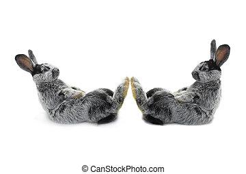 two rabbit