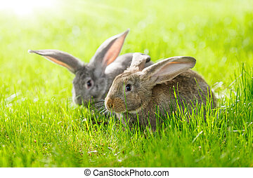 Two rabbits - Brown and gray rabbits in green grass