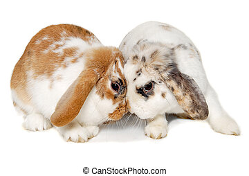 Two rabbits isolated on a white background - Two sweet...