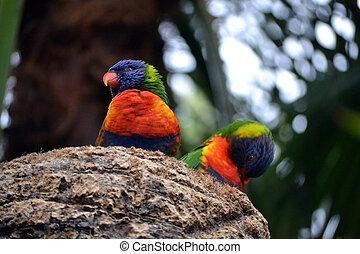 Two Rainbow Lorikeet, Trichoglossus haematodus parrots