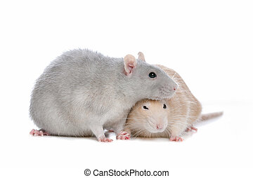 two rats in front of a white background