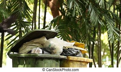 Two ravens looking for food in waste bins. Big smart black birds rake up the trash bags. Lumpini park. Bangkok, Thailand.