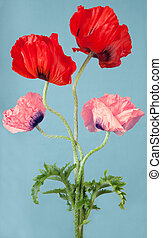 Two red and two pink poppy flowers on a blue background