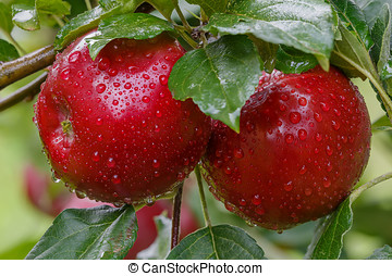 Two red apples in drops of rain on a branch.