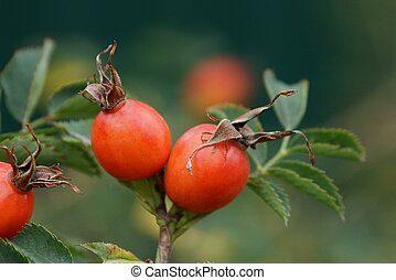 Two red briarberries on a branch with leaves