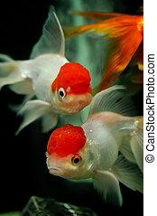 Two red cap oranda close up - Red cap oranda close up in a...