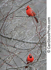 Two Red Cardinal Birds in a Tree