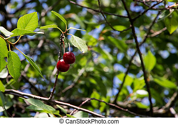 Two red cherries on a tree branch with green leaves