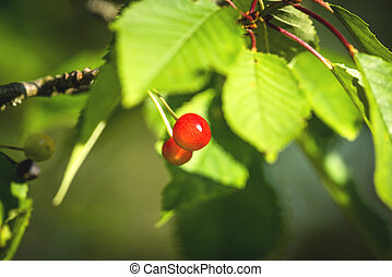 Two red cherry berries on a tree