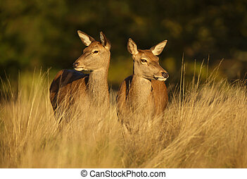 Two Red deer hinds standing in the field