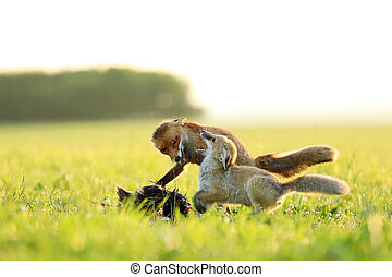 Two red foxes fight for prey on meadow in the morning - Vulpes vulpes