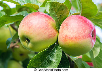 Two red-green apples on a tree in the garden