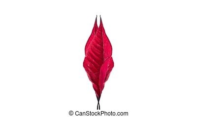Two red leaf drying and taking a bow in opposite direction...