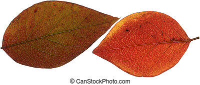 Two Red Leaves XXL