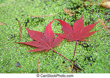 Two red maple leaves.