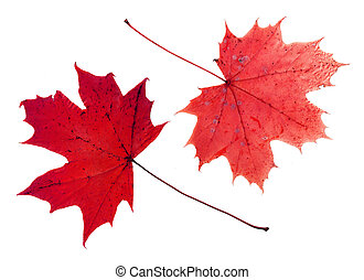 Two red maple leaves isolated on white background.