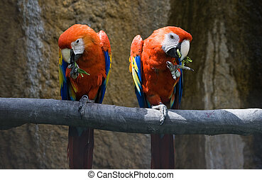 Two red parrots eating