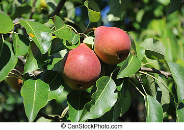 two red pears on a branch