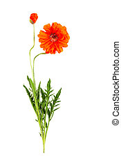 two red poppy flowers isolated on a white background