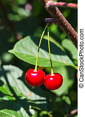 red ripe cherries on a branch
