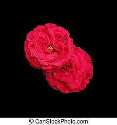 Two red roses isolated on a black background