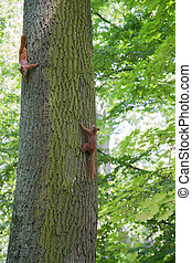 Red squirrels chasing each other